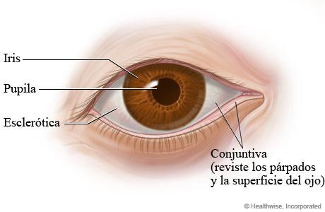 Partes del ojo (vista externa)