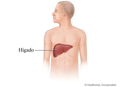 Imagen del hígado y su ubicación en el cuerpo